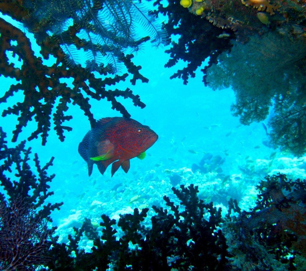 Kawakawa Grouper in FIji