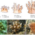 Coral Regrowth in Fiji